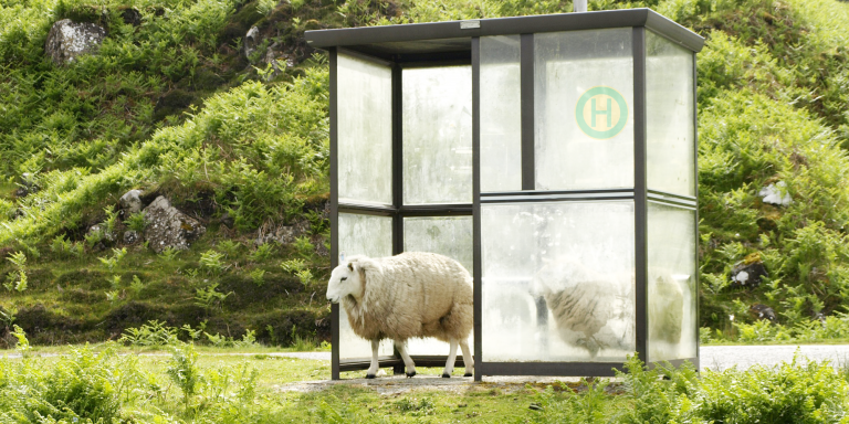 Schafe an Bushaltestelle